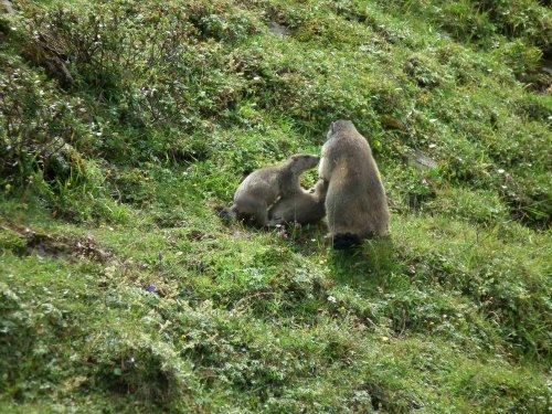 Marmottes au dessus du refuge des Glières
