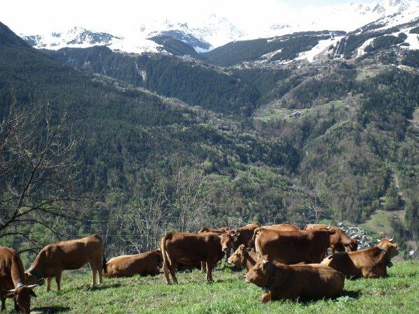 Les vaches au hameau
