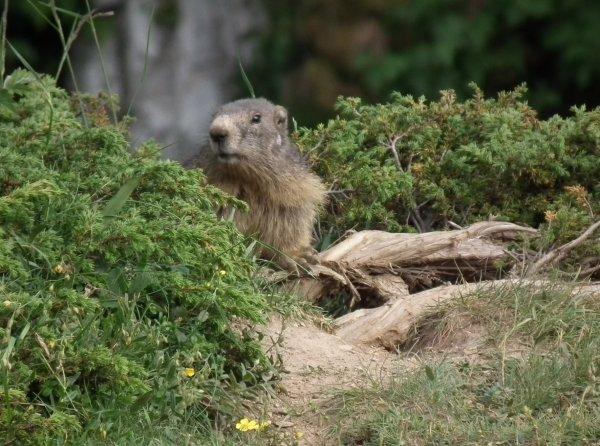 Marmotte de Vanoise