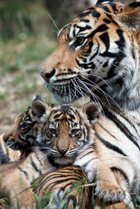 Voila deux tigre