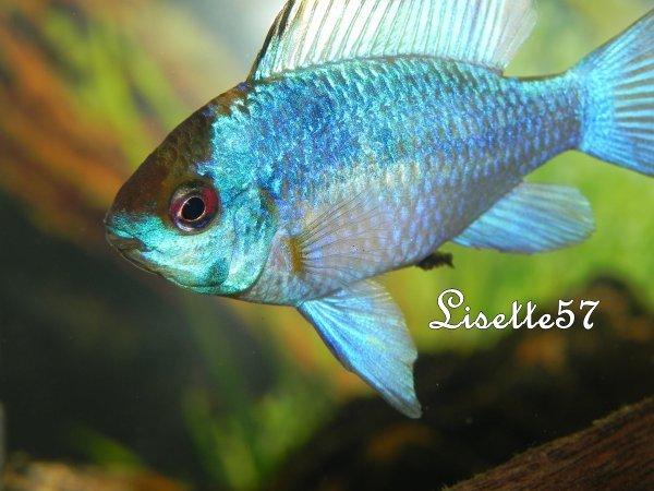 Ramirezi Bleu.
