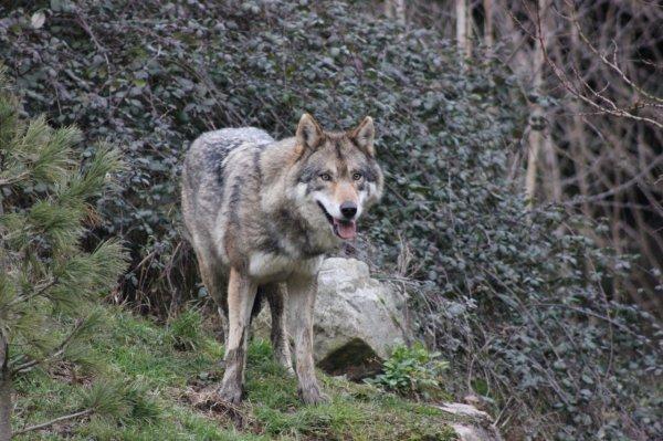 Les loups sont déjà aux portes du Bo lasemainedelallier.fr(1)