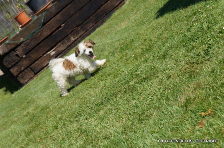 Chiots chien nus et à houpette à reserver ...née le 10 mai 2012 . avec péd St-Hubert et test adn .