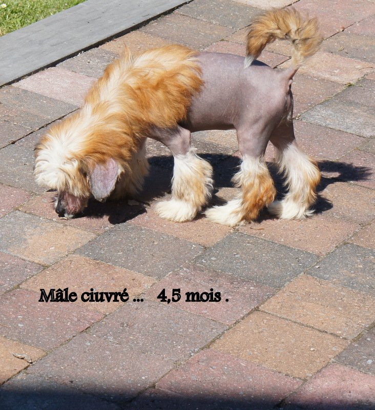 Superbe mâle chien nus cherche une famille , couleur superbe , qualité expo, péd st hubert , test adn ,