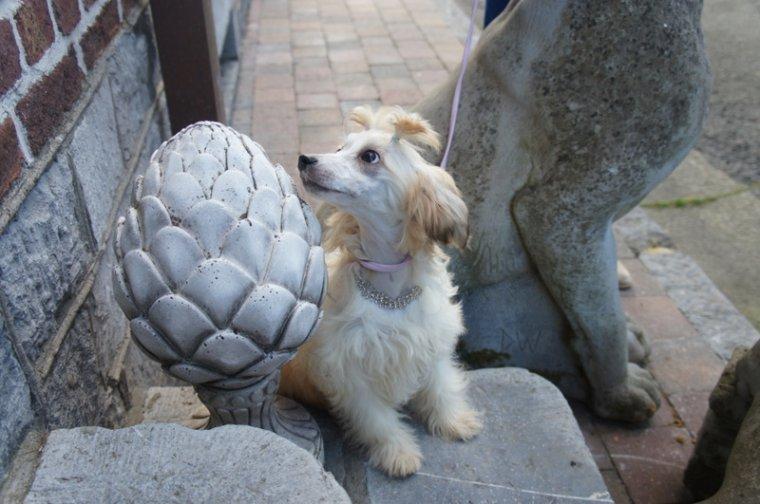 superbe femelle chien nus à houpette , 4,5 mois, 3,150 kilo - péd st-hubert et test adn  cherche une famille