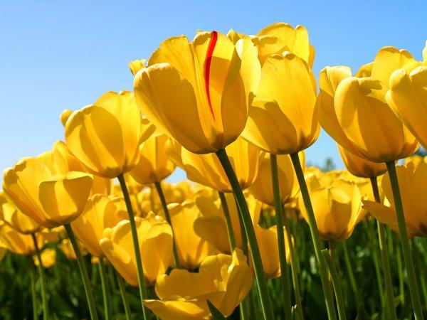 jolie tulipe pour la st valentin