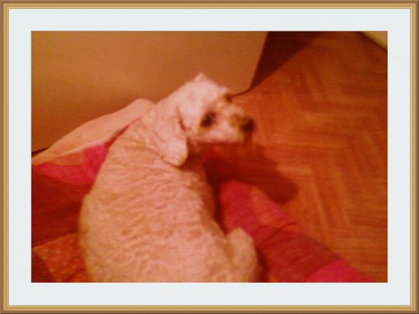 oscar mon petit chien tu me manque
