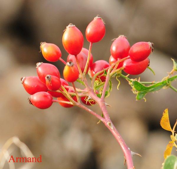 Fruits de l'Eglantier - Cynorrhodon (Rosa canina)