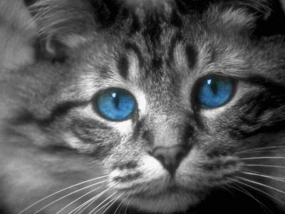 Chat gris au yeux bleu magnifique chat chaton race de chat - Yeux bleu vert gris ...