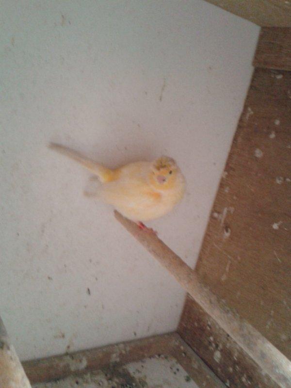 male canari a casquette oranger