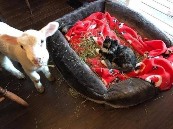 Ce doux agneau orphelin a trouvé son ange gardien