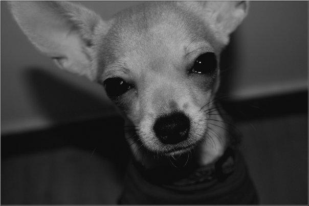 Blog de Dior-Chihuahua