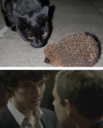 Chat Sherlock vs Hérisson John