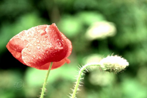 La beauté d'une simple fleur des champs.