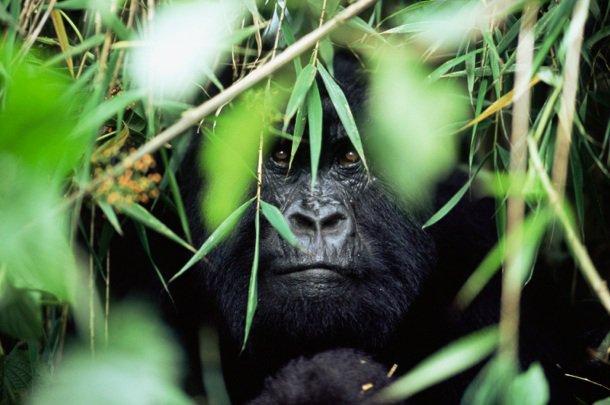Pétition WWF: protéger les gorilles