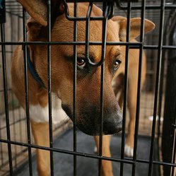 Le trafic de chiens