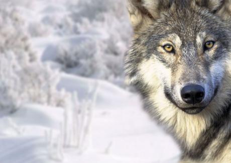 Les loups et leur intégration en France