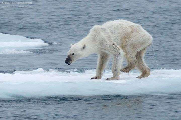 La photo d'un ours polaire squelettique choque le web