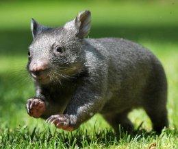 Le wombat