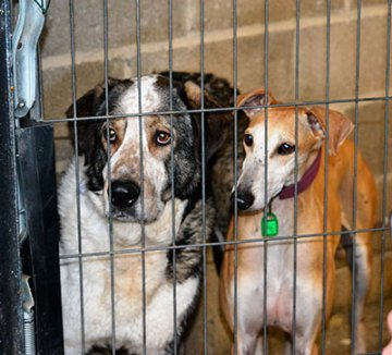 Lévriers: refuges saturés, 14 chiens à sauver > VICTOIRE !