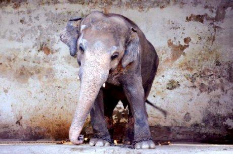 Après Arturo l'ours polaire, voici Kaavan l'éléphant... et sa triste vie de captivité.