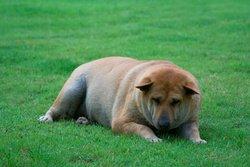 L'obésité chez le chien
