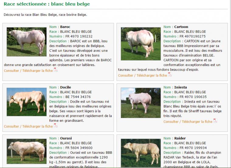 Taureau race blanc bleu belge: résultat de la monstruosité humaine