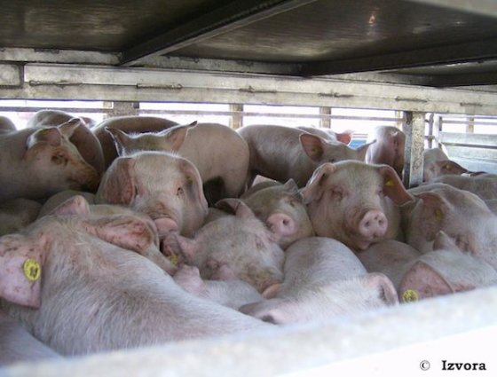 URGENT: 24h pour signer cette pétition sur les longs transports d'animaux