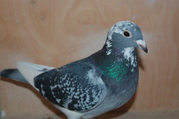 pigeon pour la vente de L-HIRONDELLE - ESTEVELLE et voila Obélix est venu la chercher elle sera présente la vente demain