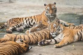 Certaines populations de tigres se portent mieux !
