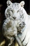 Photo de tigre76620