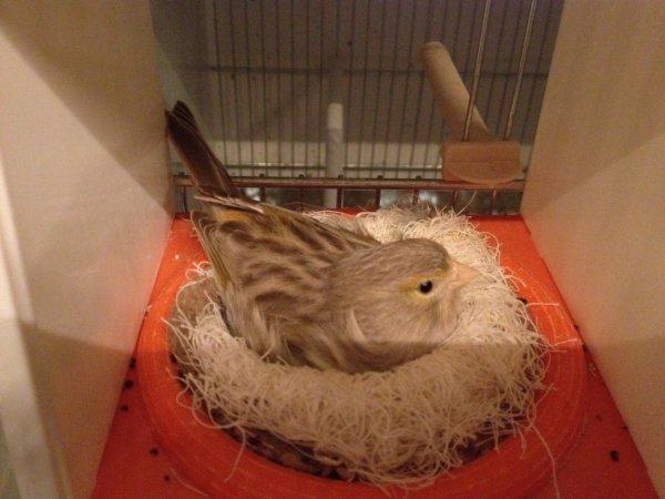 Femelle sur son nid avec 4 oeufs