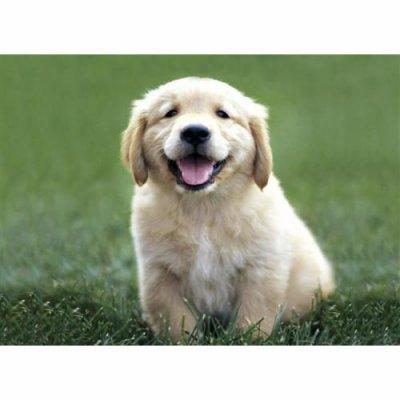 Labradort (Bébé)