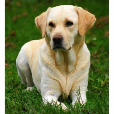 Labradort beige...