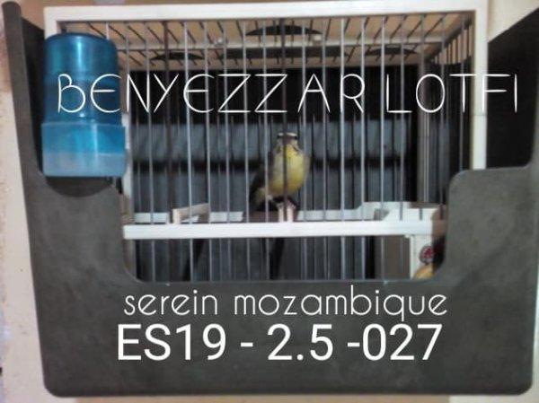 jeune serin mozambique