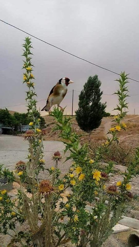chardonneret en nature
