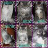 mes maine coon