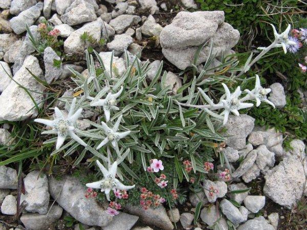 L'edelweiss, fleur solaire couleur de lune ...