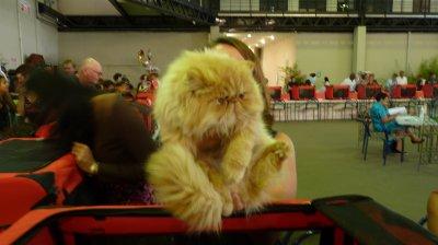 2eme expo feline reunion (via l'asso féline reunionnaise)