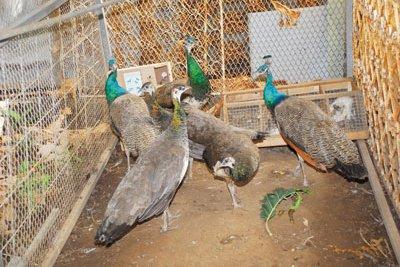 youhouuu nous voilà ds le journal !! lol viva pet shop island^^ (publié le 3 avril 2011 à 06h23)