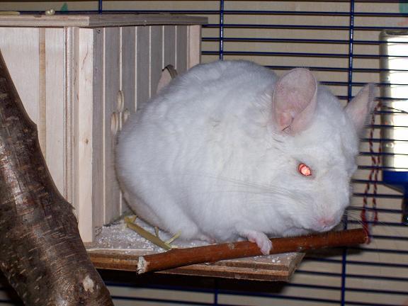 et me voilà Flocon mâle chinchilla pink white de 9 mois