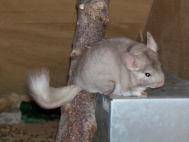 et me voilà Noisette femelle chinchilla de 1 an