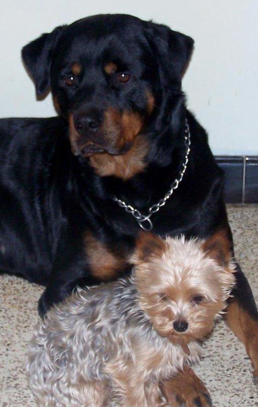 Atila et Goliath
