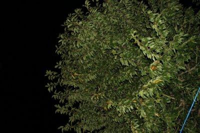 Cerisier lors d'une nuit d'été ♥