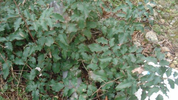 Le houx au jardin, moins beau que celui de Mitsy mais il est là