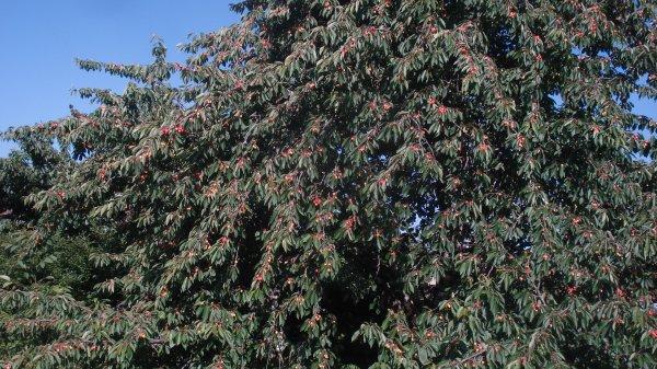 L'arbre est couvert de cerises Napoléon