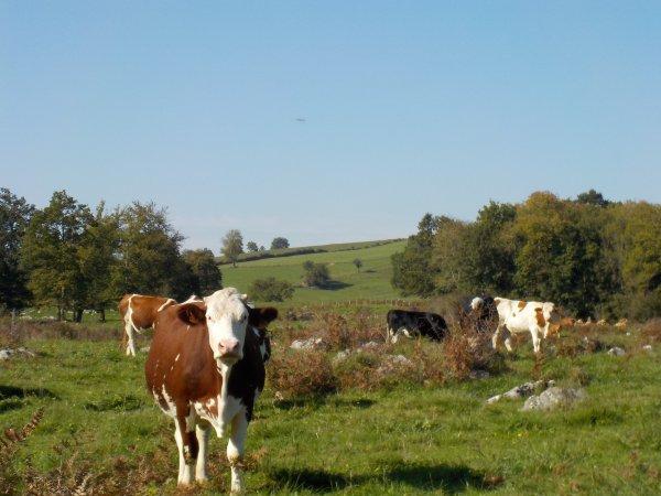 Et, partout, des vaches
