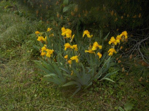 Les iris étaient fleuris