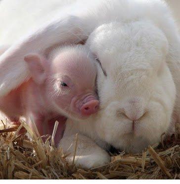 cela est pour vous faire rire un peu hein oui que le lapin et le cochon