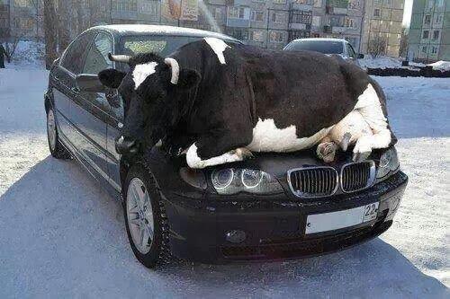 cette vache n'est pas à sa place je crois